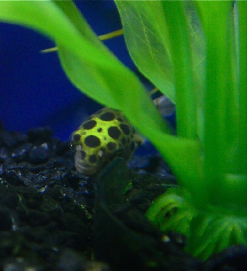 freshwater fish - tetraodon nigroviridis - green spotted puffer stocking in 55 gallons tank - Green Spotted Puffer