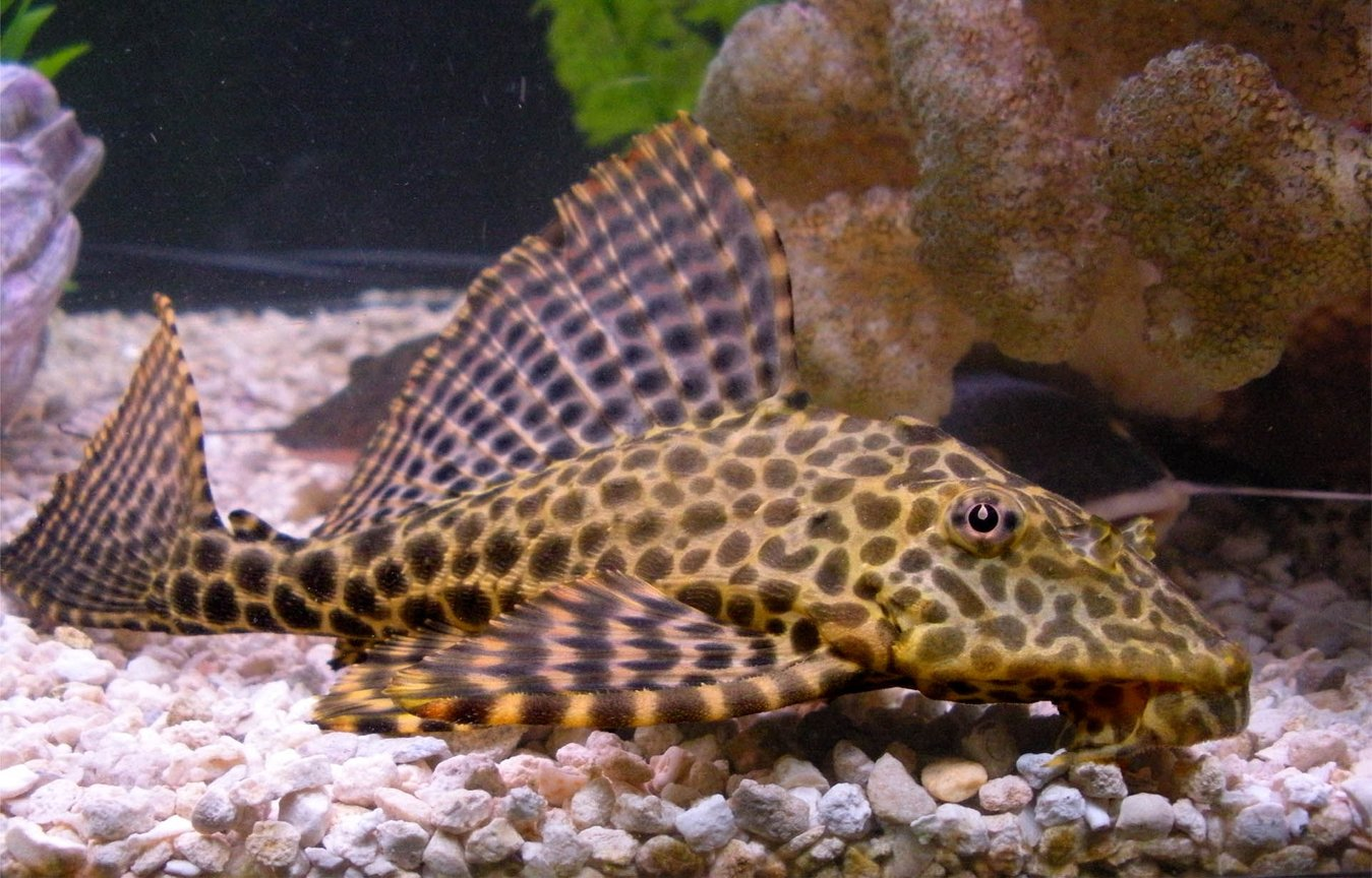 freshwater fish - glyptoperichthys gibbiceps - sailfin pleco (l-83) stocking in 125 gallons tank - My Highfin Leopard Pleco