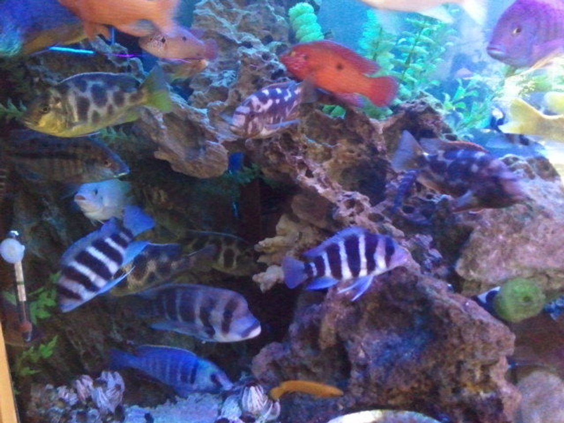 freshwater fish - cyphotilapia frontosa - frontosa cichlid stocking in 300 gallons tank - popular cave..
