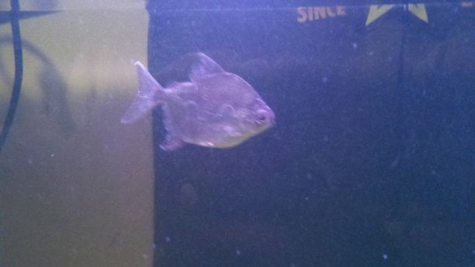 freshwater fish - metynnis argenteus - silver dollar stocking in 39 gallons tank - Red Hook I