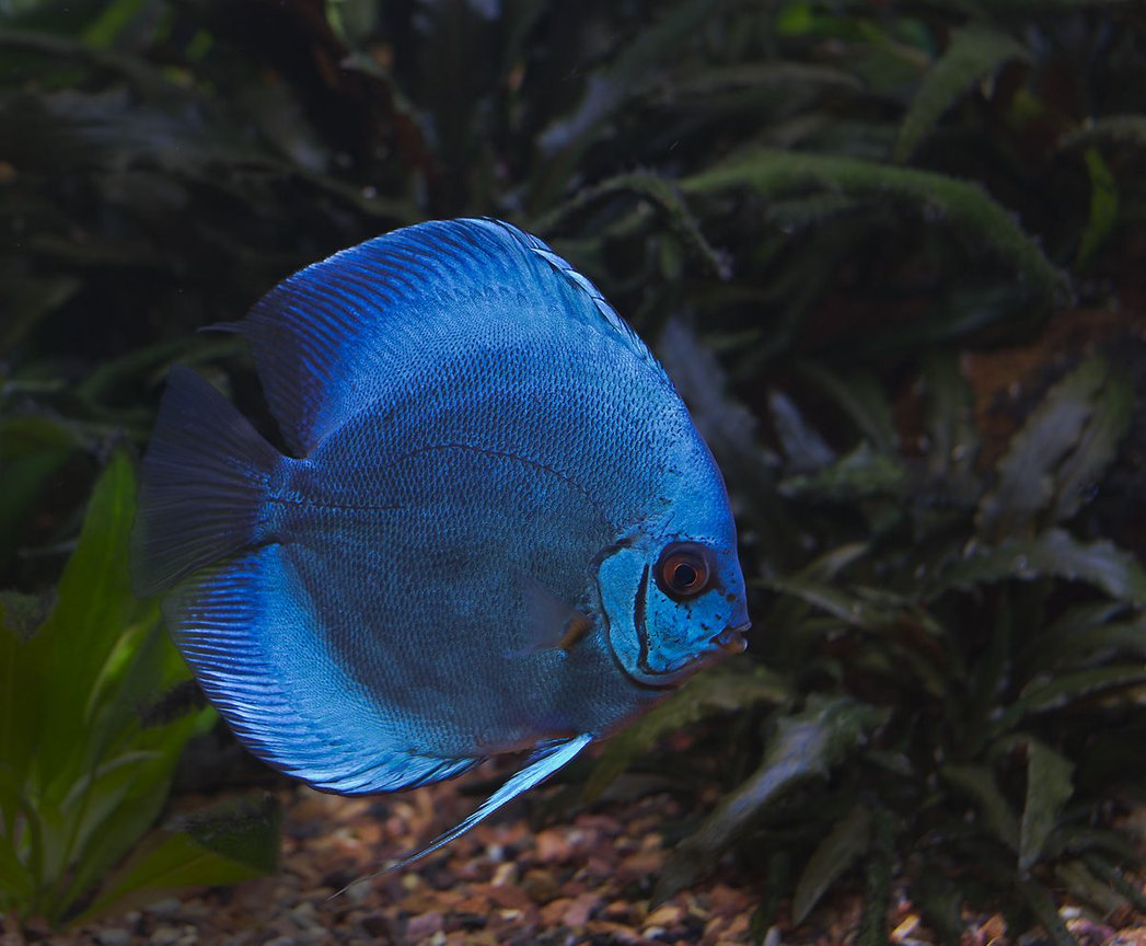 freshwater fish - symphysodon sp. - blue diamond discus stocking in 180 gallons tank - Blue Discus