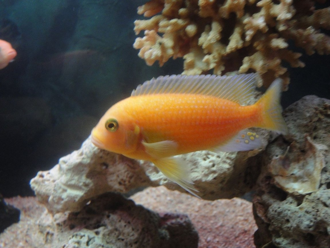 freshwater fish - pseudotropheus estherae - red zebra cichlid stocking in 20 gallons tank - Red Zebra Cichlid
