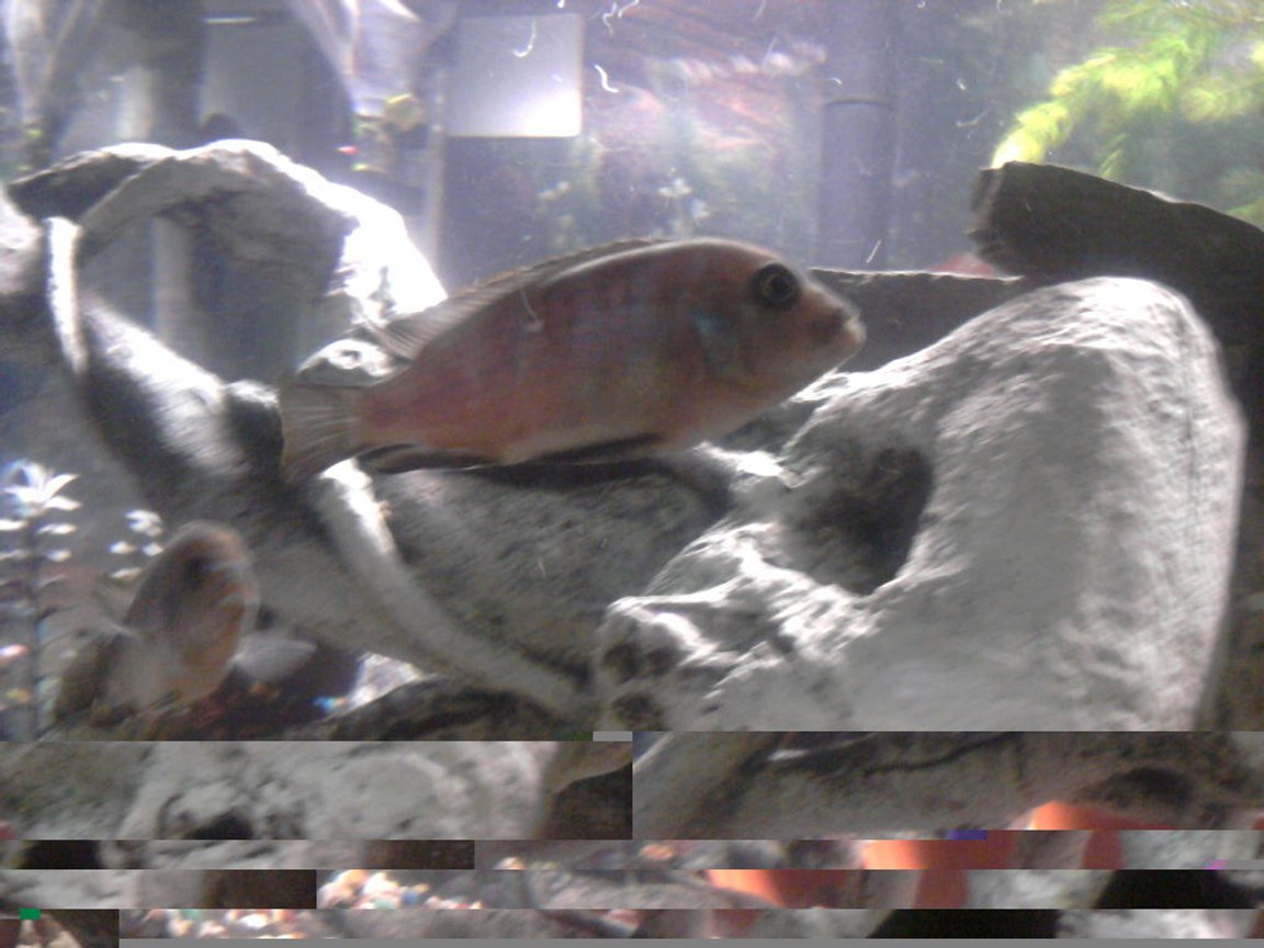 freshwater fish - labidochromis sp. - hongi stocking in 135 gallons tank