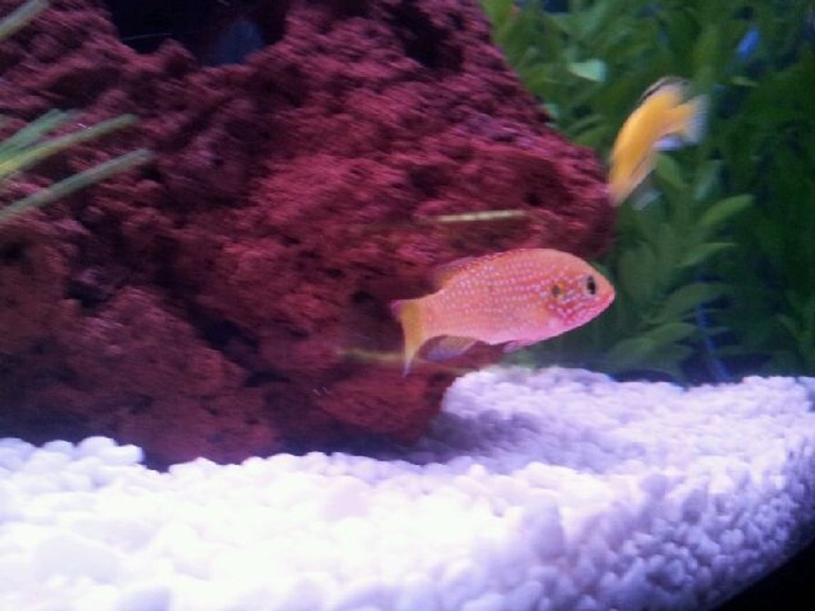 freshwater fish - hemichromis bimaculatus - jewel cichlid stocking in 45 gallons tank - my jewel cichlid