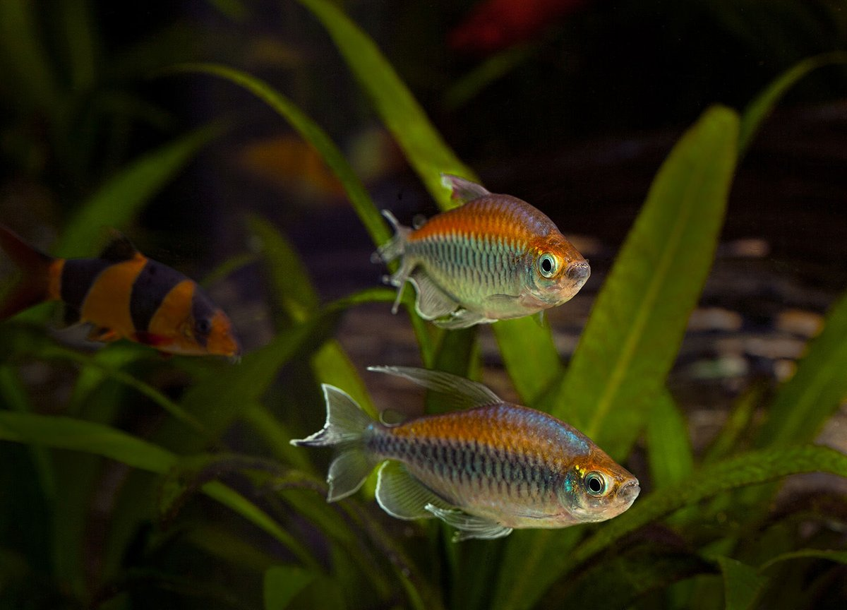 freshwater fish - phenacogrammus interruptus - congo tetra stocking in 180 gallons tank - Congo Tetras