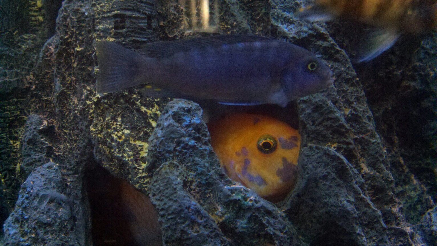 freshwater fish - aulonocara nyassae - blue peacock cichlid stocking in 100 gallons tank