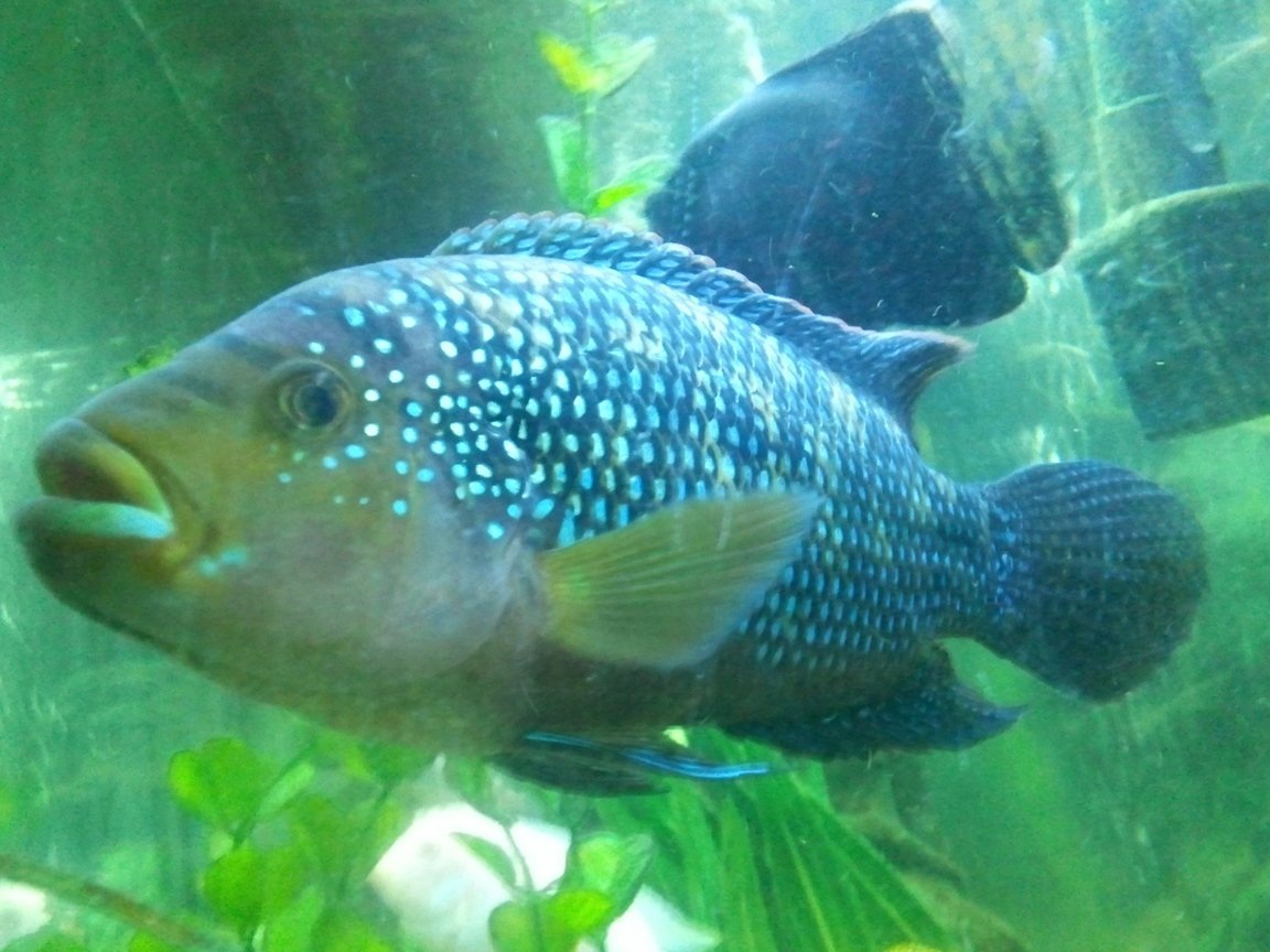 freshwater fish - nandopsis octofasciatum - jack dempsey stocking in 55 gallons tank - Jack dimsey,Mostly mellow untill you get on his tail,But all and all beautiful chiclid,Also flickers in certain light...