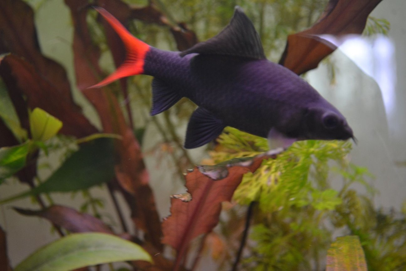 freshwater fish - epalzeorhynchos bicolor - redtail shark stocking in 120 gallons tank - Red-tailed black shark (Epalzeorhynchos bicolor), also known as the redtail shark and Labeo bicolor