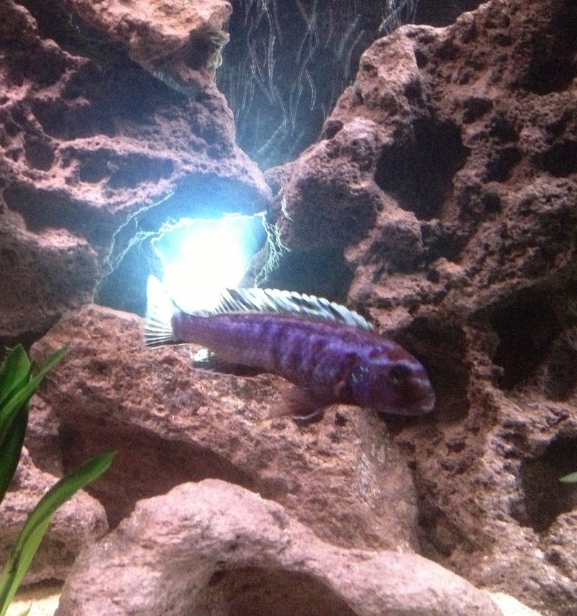 freshwater fish - melanochromis johannii - johanni cichlid stocking in 55 gallons tank - Blue Johanni (the boss)