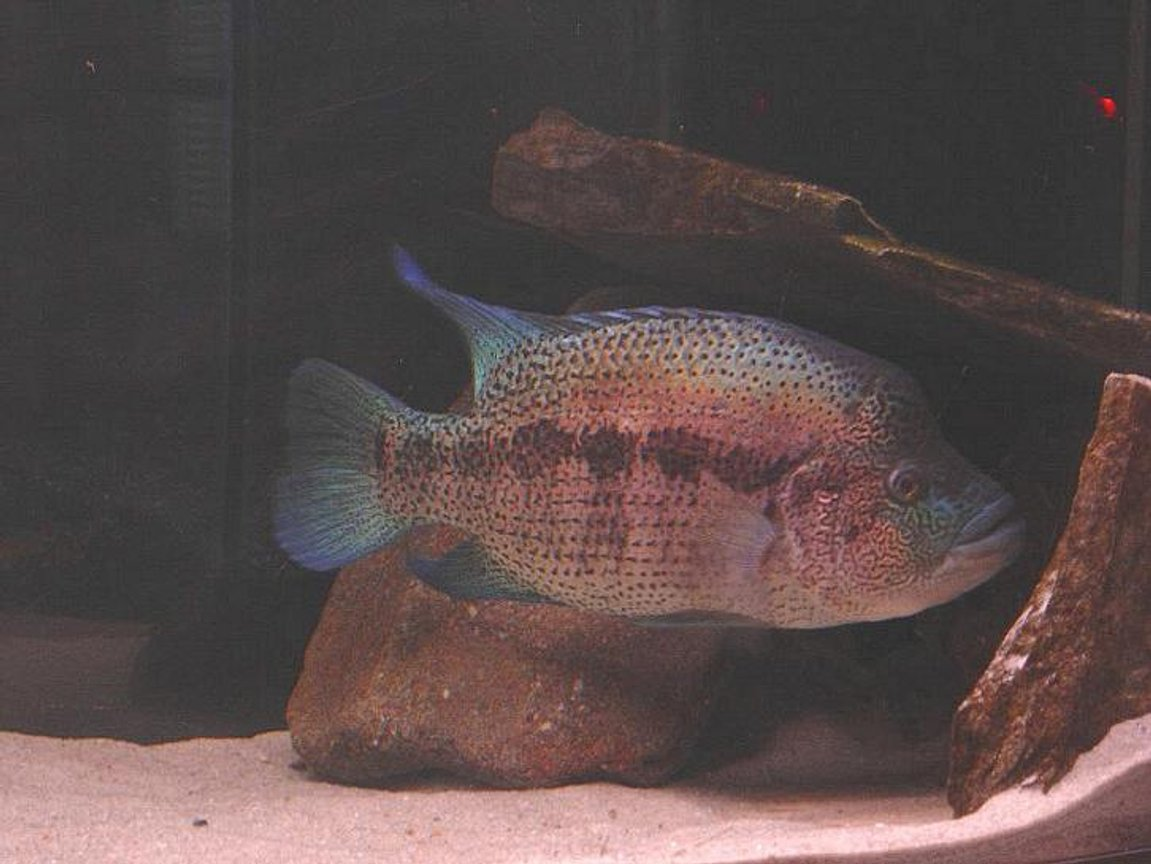"freshwater fish - cichlasoma sp. - flower horn cichlid stocking in 180 gallons tank - 20"" Para. dovii"