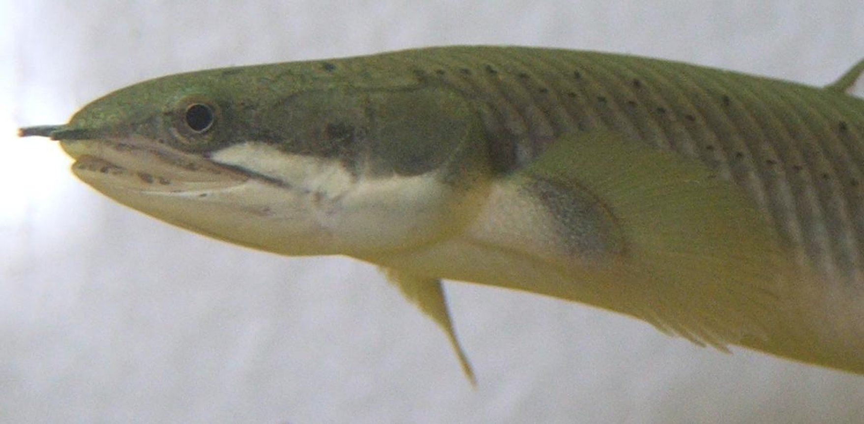 freshwater fish - polypterus senegalus - cuvier bichir - Polypterus Senegal 1 of 3 in my 200L
