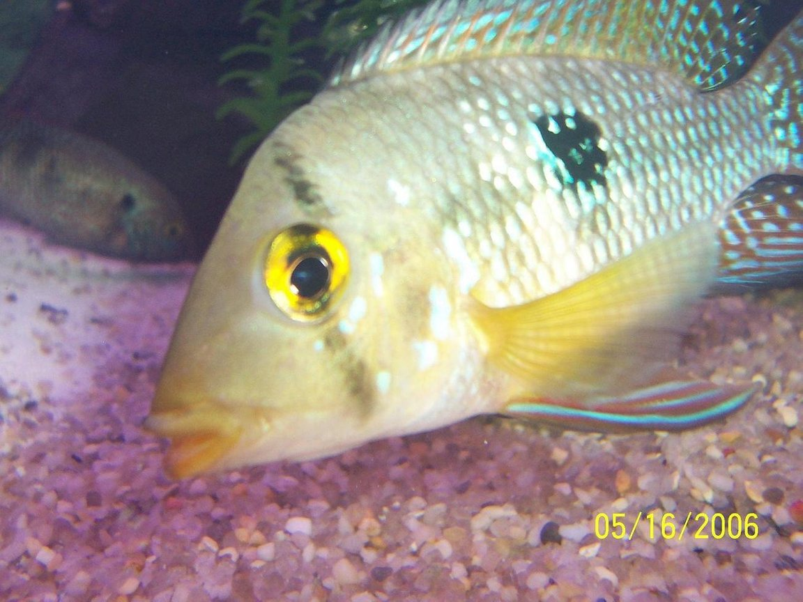 freshwater fish - geophagus dicrozoster - monster fish stocking in 125 gallons tank - my geo posing for camera