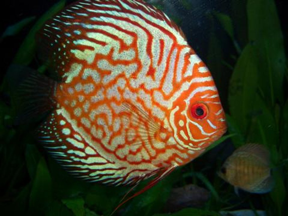 freshwater fish - symphysodon spp. - snakeskin discus stocking in 55 gallons tank - Discus Pictures