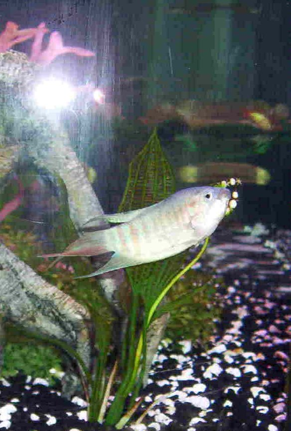 freshwater fish - macropodus opercularis - blue paradise stocking in 46 gallons tank - another view