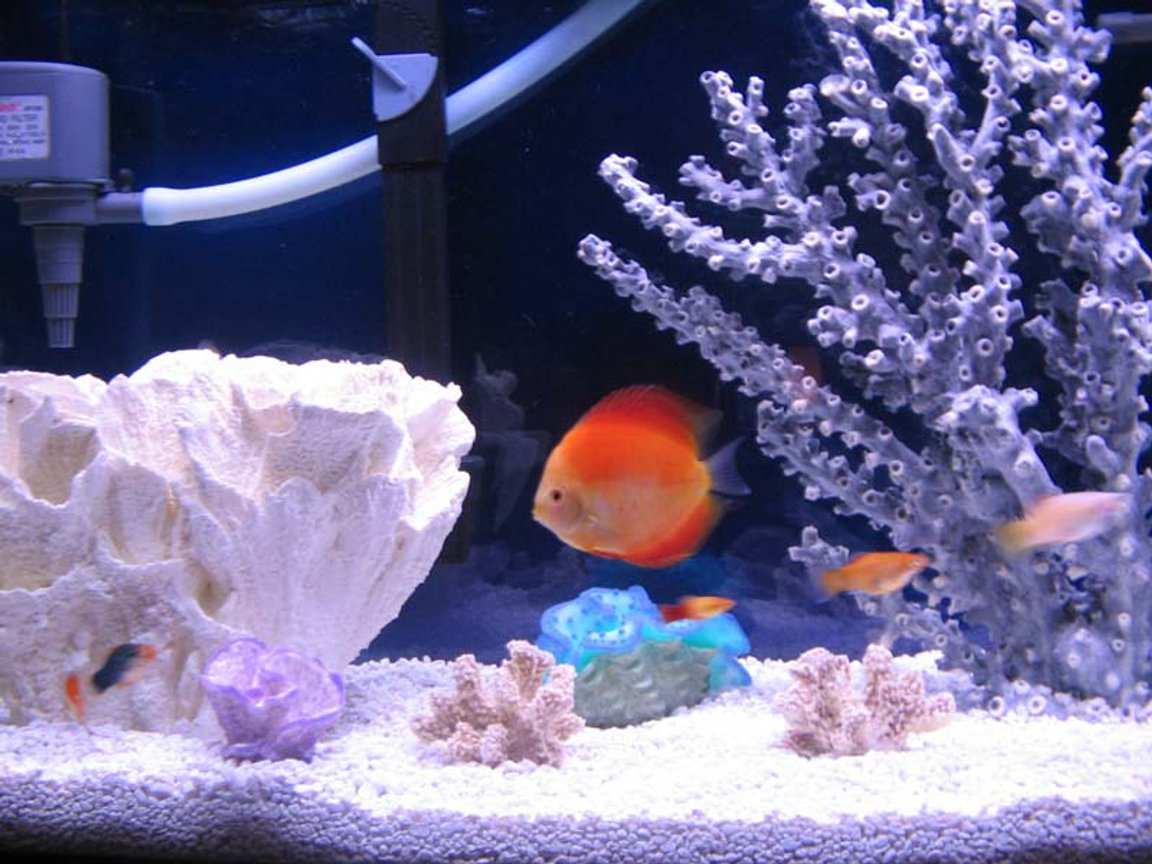 "freshwater fish - red melon discus stocking in 46 gallons tank - My Red Melon Discus swimming in her pretend saltwater tank. All decorations are completely fake and freshwater safe. Just in case any of you Discus lovers were wondering. 55 Gallon 6 Discus only.1- Red melon 4.5 inches, 1-Lg 6 inch blue, 1-2.5"" clobolt green,1- 2.5"" Red melon,1- 3.0"" orange & 1- 3.0"" Blue Diamond."