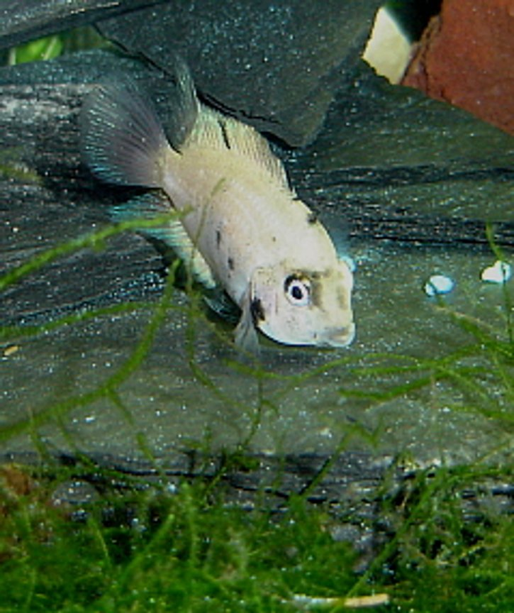 freshwater fish - archocentrus nigrofasciatus - convict cichlid stocking in 55 gallons tank - Male Calico Convict