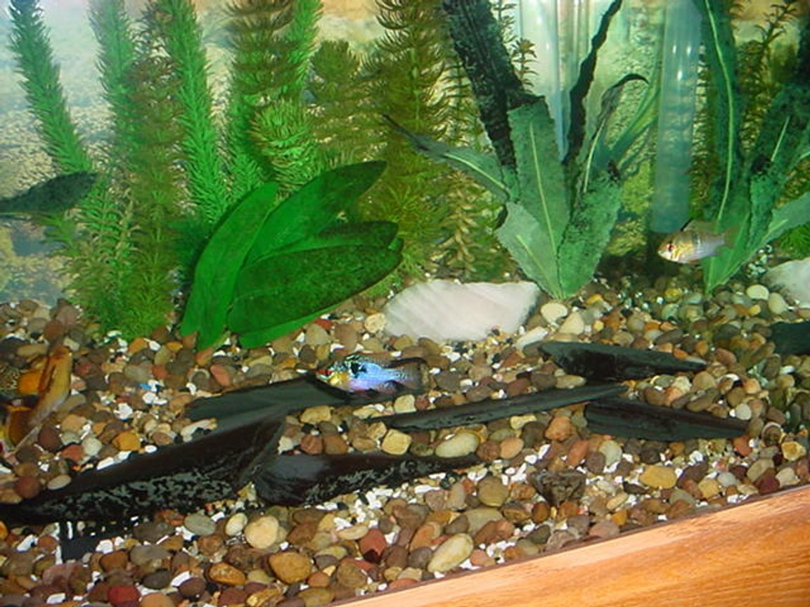 freshwater fish - papiliochromis ramirezi - german blue ram stocking in 125 gallons tank - Couple of my rams