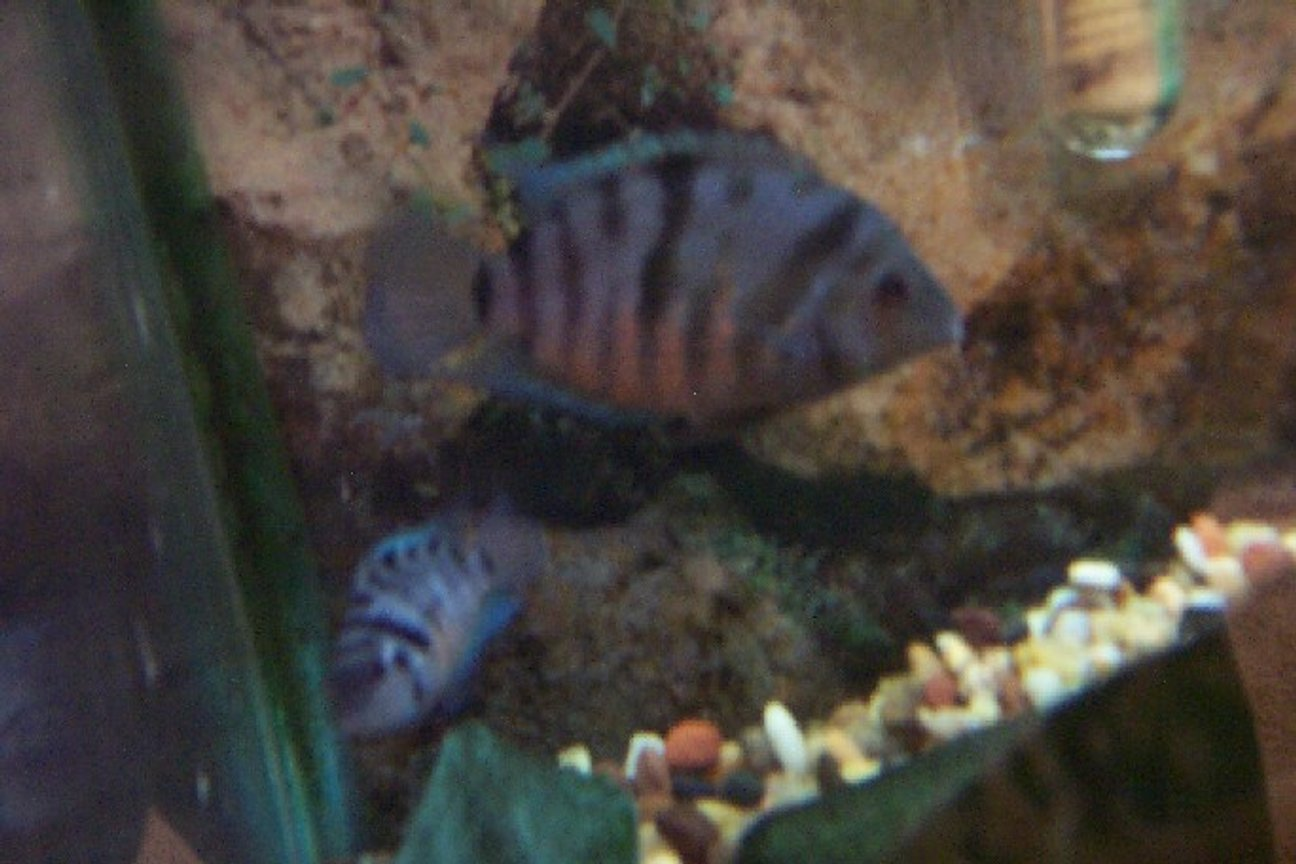 freshwater fish - archocentrus nigrofasciatus - black convict cichlid stocking in 25 gallons tank - my convict