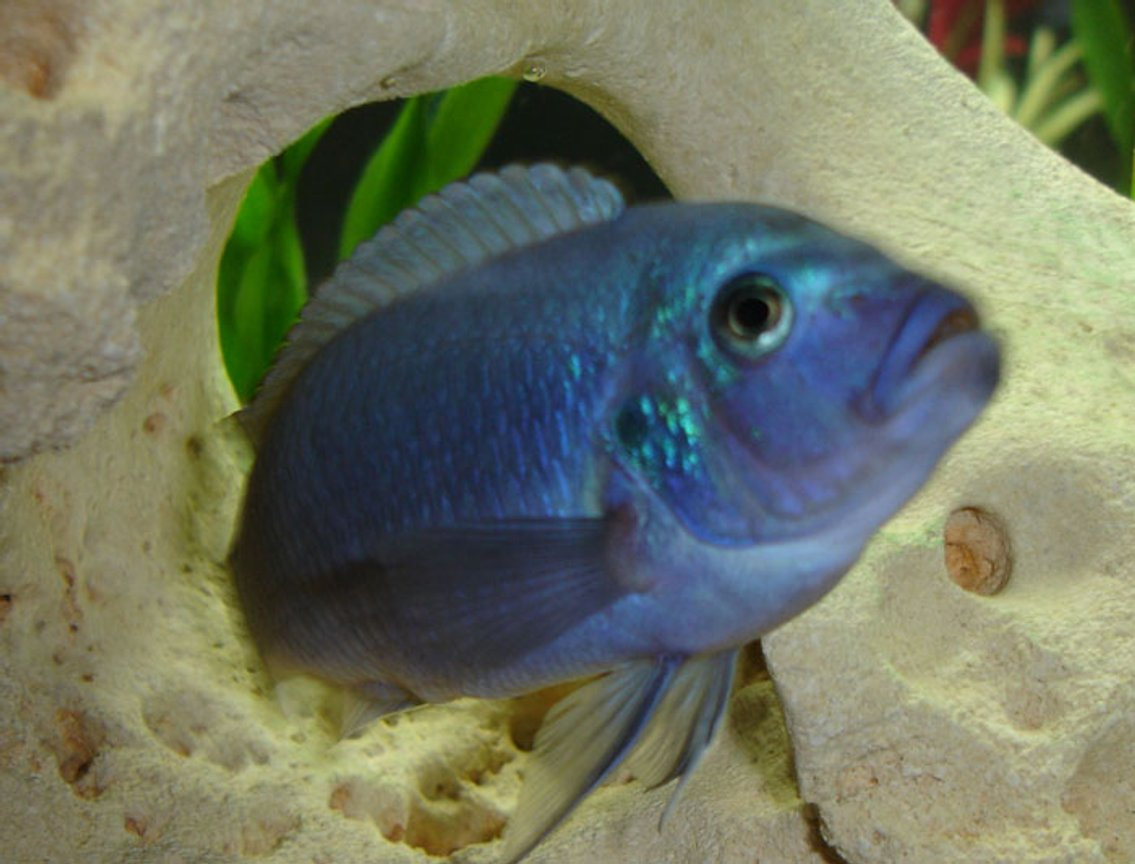 freshwater fish - maylandia callainos - blue cobalt cichlid stocking in 55 gallons tank - My favorite blue :P
