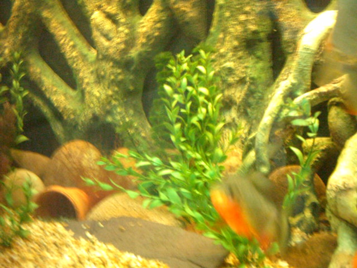 freshwater fish - colossoma brachypomus - pacu stocking in 66 gallons tank - my pacu when it was much smaller