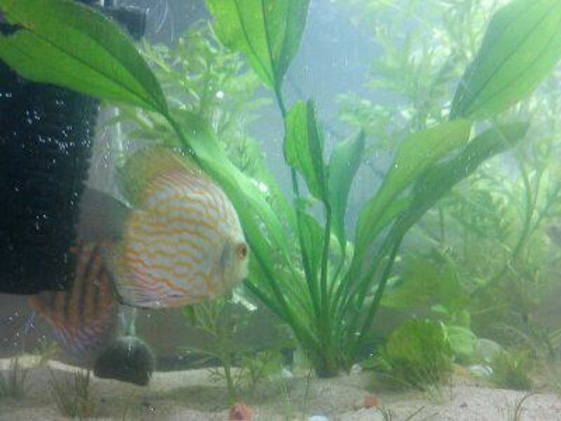 freshwater fish - symphysodon sp. - snakeskin discus stocking in 24 gallons tank
