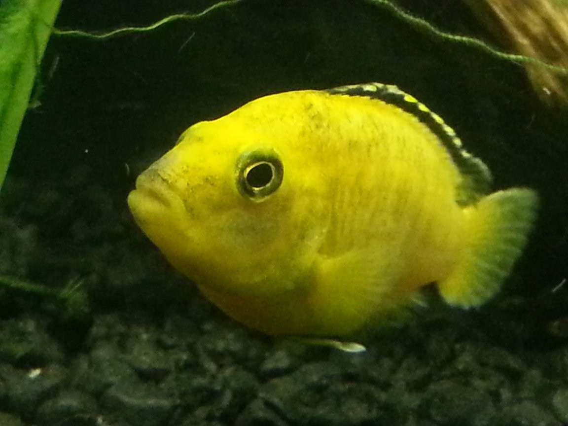 freshwater fish - labidochromis caeruleus - electric yellow cichlid stocking in 75 gallons tank - Yellow lab