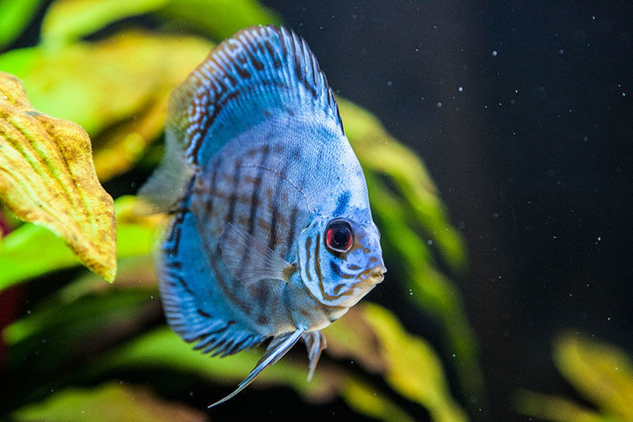 freshwater fish - symphysodon sp. - checkerboard discus stocking in 200 gallons tank - Discus