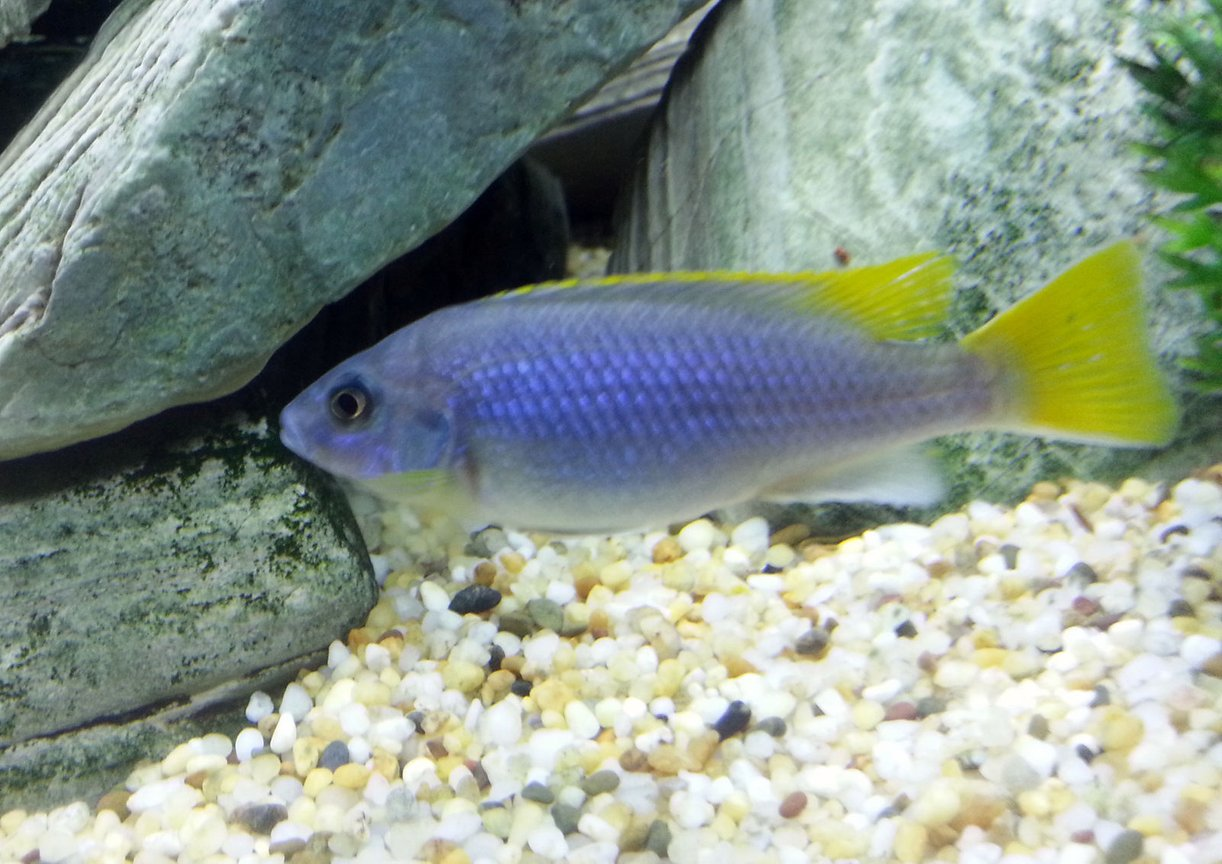 freshwater fish - pseudotropheus acei - acei cichlid stocking in 55 gallons tank - Yellow Tail Acei Cichlid