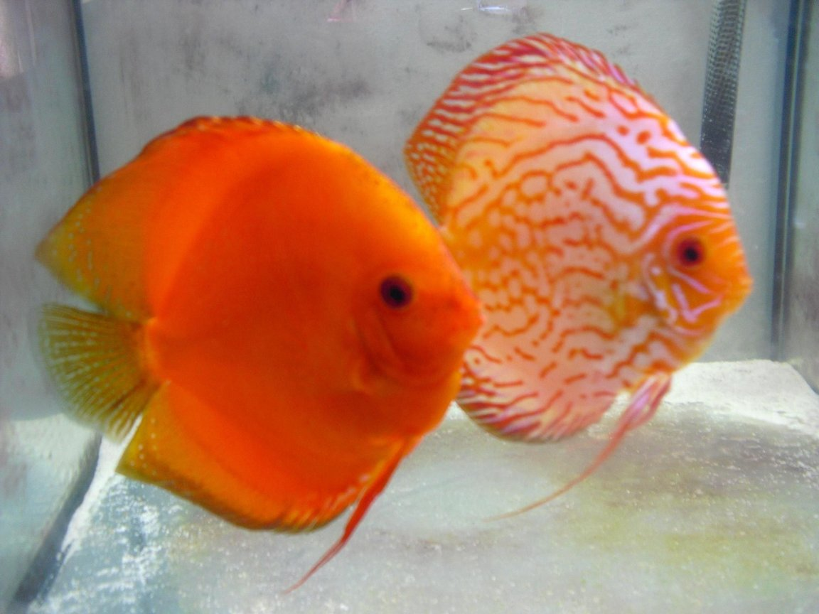 freshwater fish - symphysodon sp. - snakeskin discus - my pair of discus