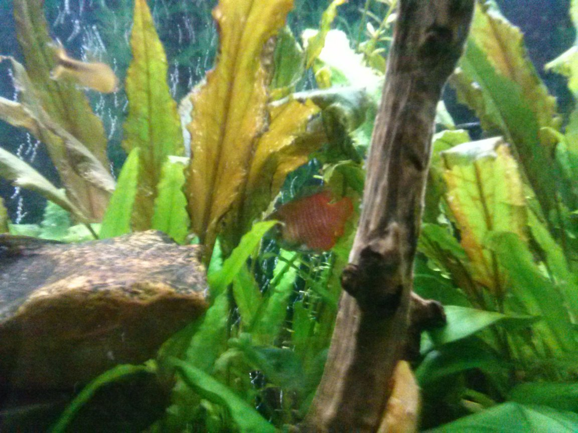 freshwater fish - trichogaster lalius - dwarf gourami stocking in 75 gallons tank - Fire belly gromie