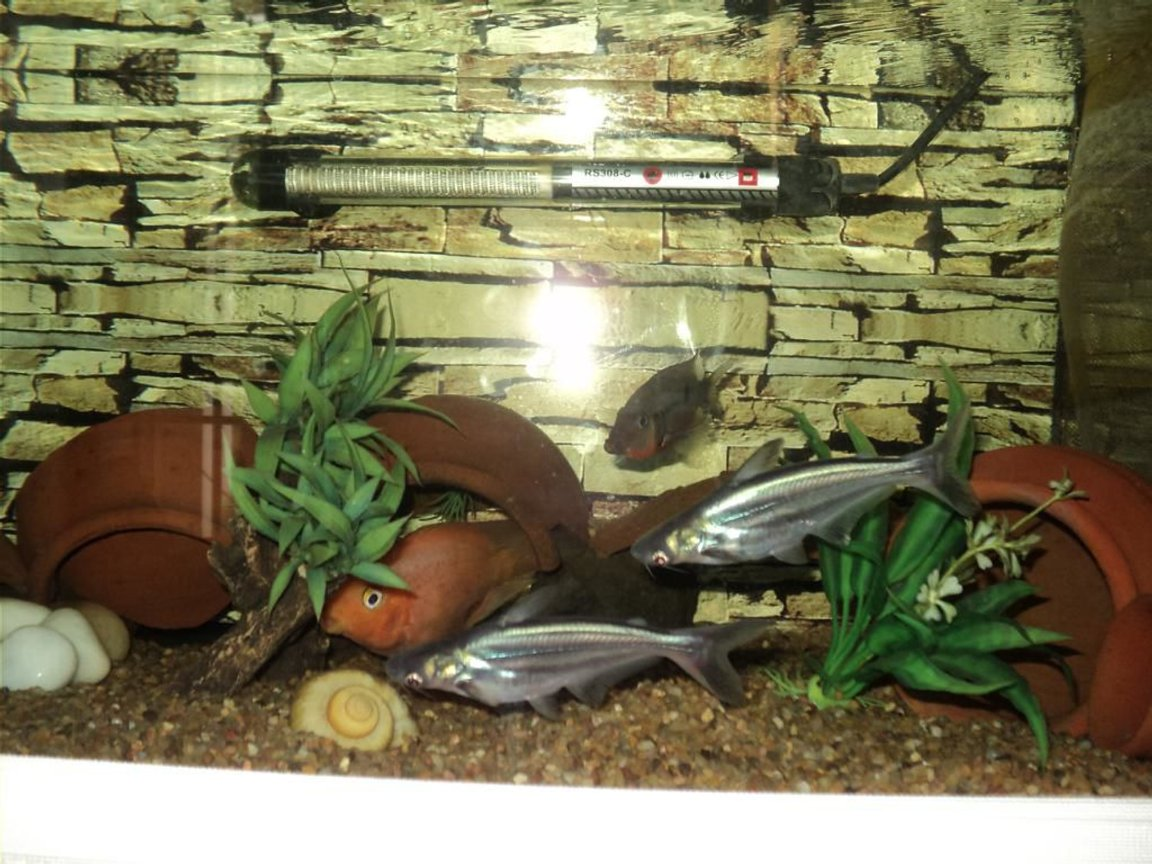 freshwater fish - pangasius hypophthalmus - iridescent shark stocking in 75 gallons tank - My Iridescent Shark Catfishes, Parrot under cave and Firemouth
