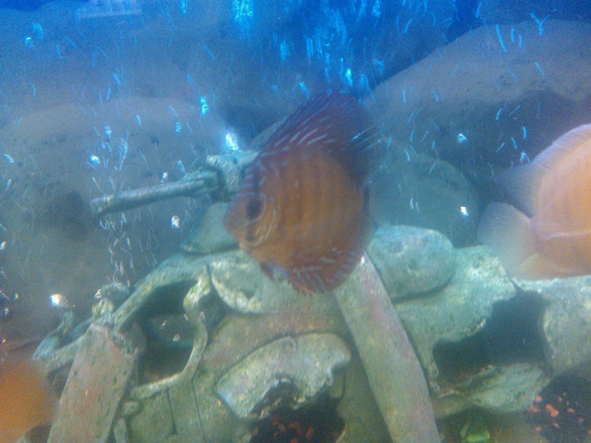 freshwater fish - symphysodon sp. - ocean green discus stocking in 65 gallons tank