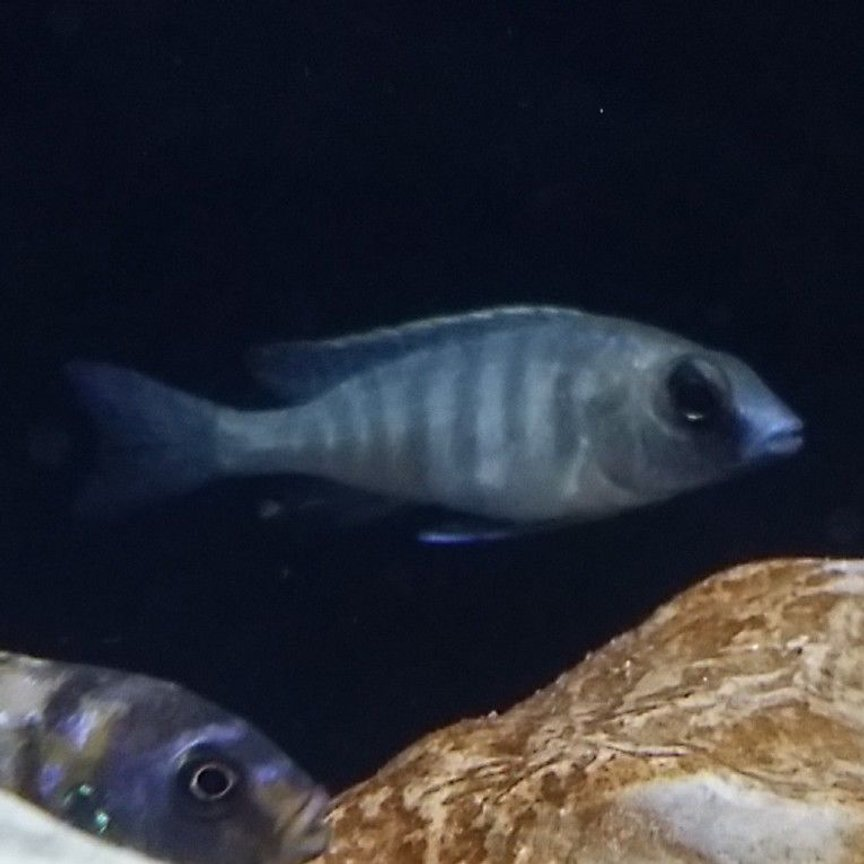 freshwater fish - placidochromis electra - deepwater hap stocking in 55 gallons tank - Deep water hap