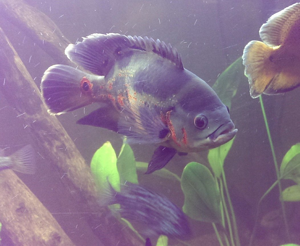 "freshwater fish - astronotus ocellatus - tiger oscar stocking in 125 gallons tank - King of the tank, my brothers Tiger Oscar. About 9"" long"