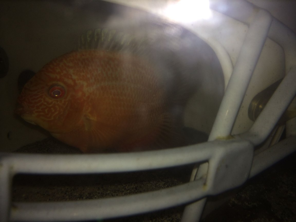 freshwater fish - heros efasciatus - red spot severum stocking in 75 gallons tank - Gold Red Spotted Severum hiding in football helmet.