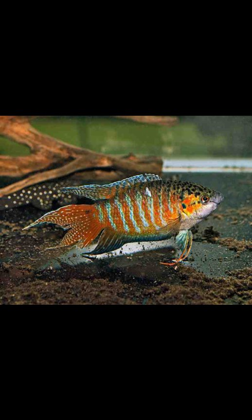 freshwater fish - macropodus opercularis - blue paradise stocking in 36 gallons tank - Paradise Gourami