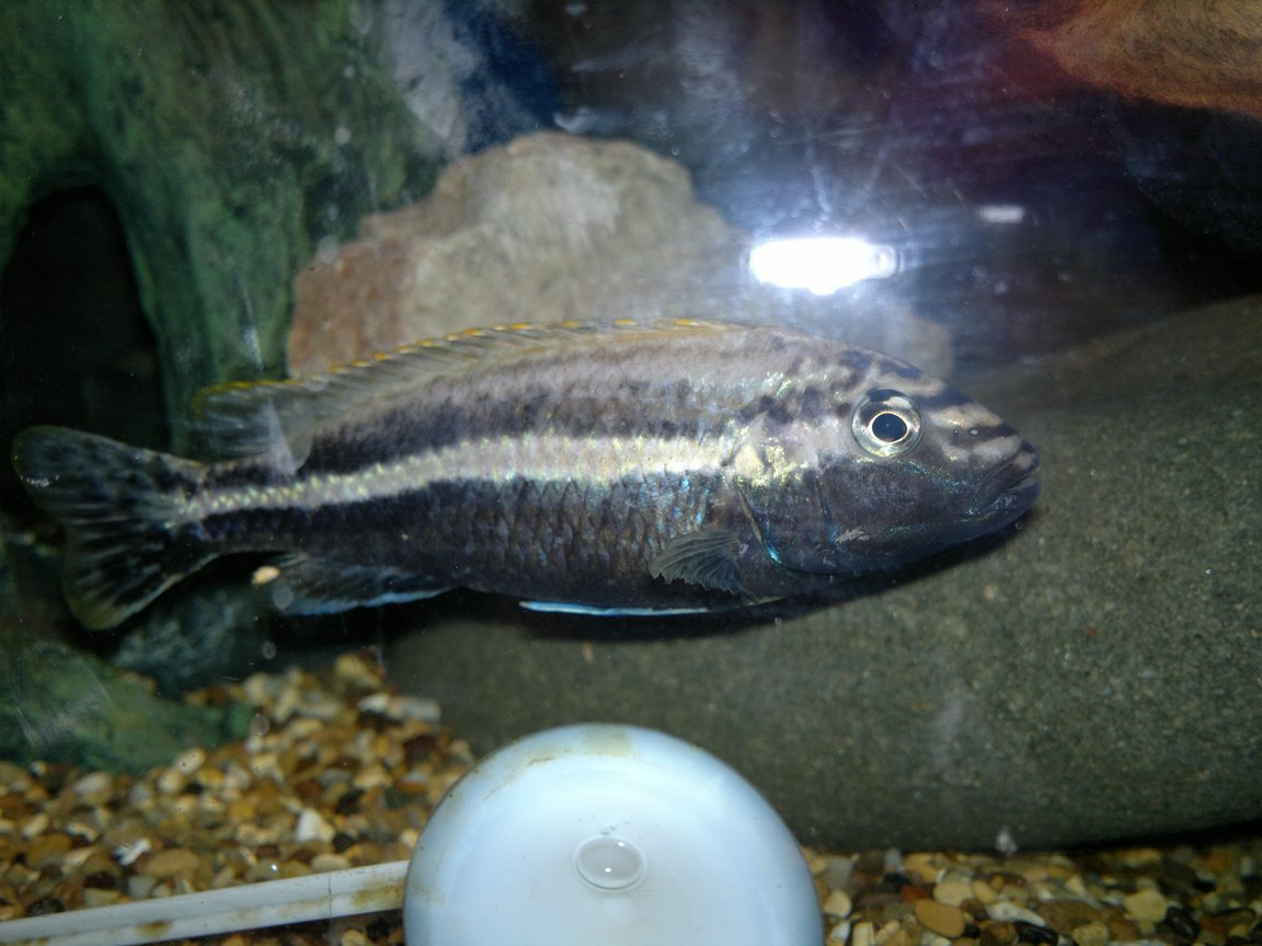 freshwater fish - melanochromis auratus - auratus cichlid stocking in 45 gallons tank - My lovely Auratus Male!