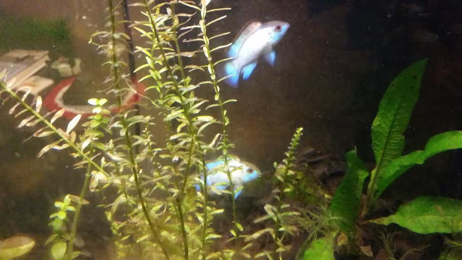freshwater fish stocking in 55 gallons tank - my two smaller electric blue acaras
