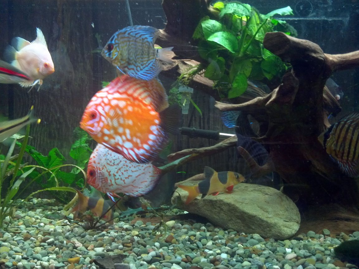freshwater fish stocking in 220 gallons tank - a couple of my discus