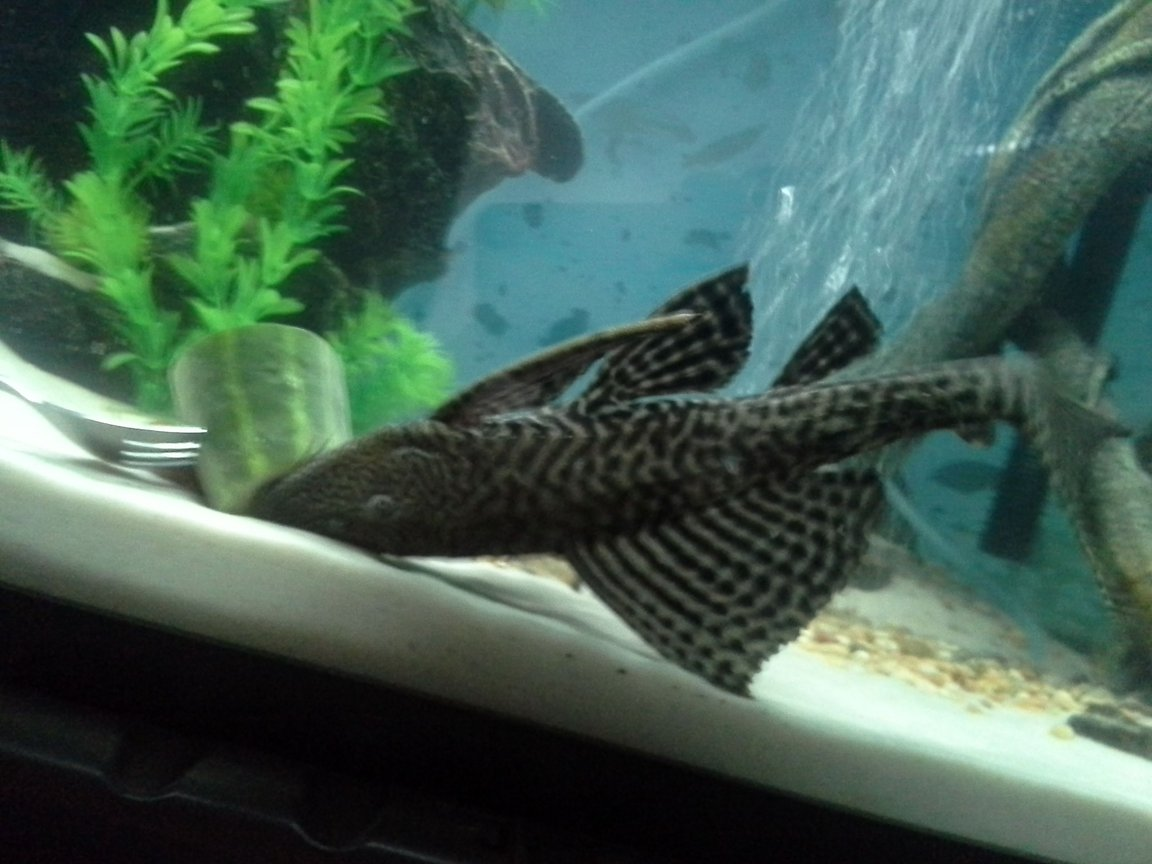 "freshwater fish stocking in 75 gallons tank - My 16"" common pleco."