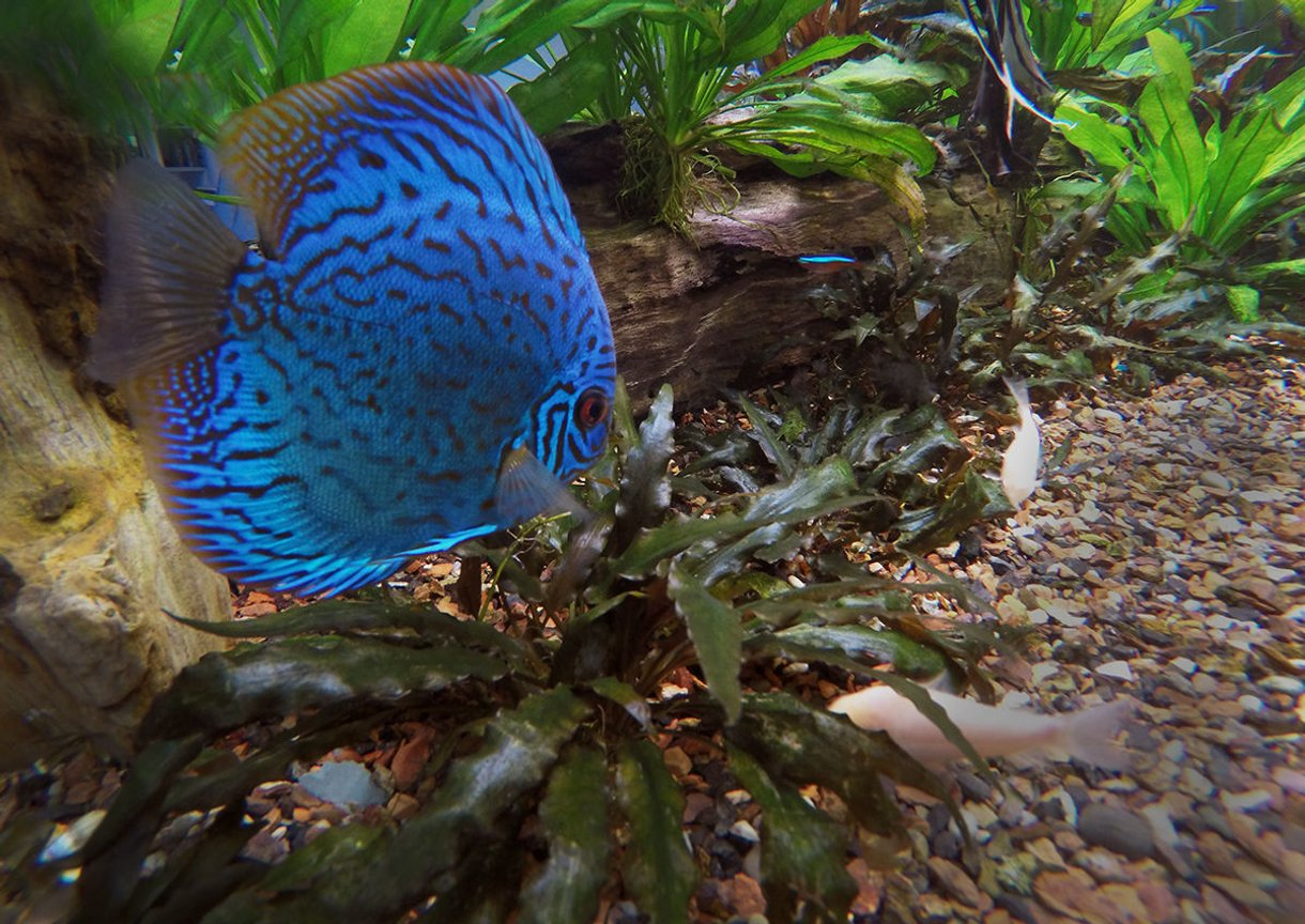 freshwater fish stocking in 180 gallons tank - Blue Discus picture seems a little more realistic, when shot from inside the tank rather than through the glass. Good way to get rid of refections as well.