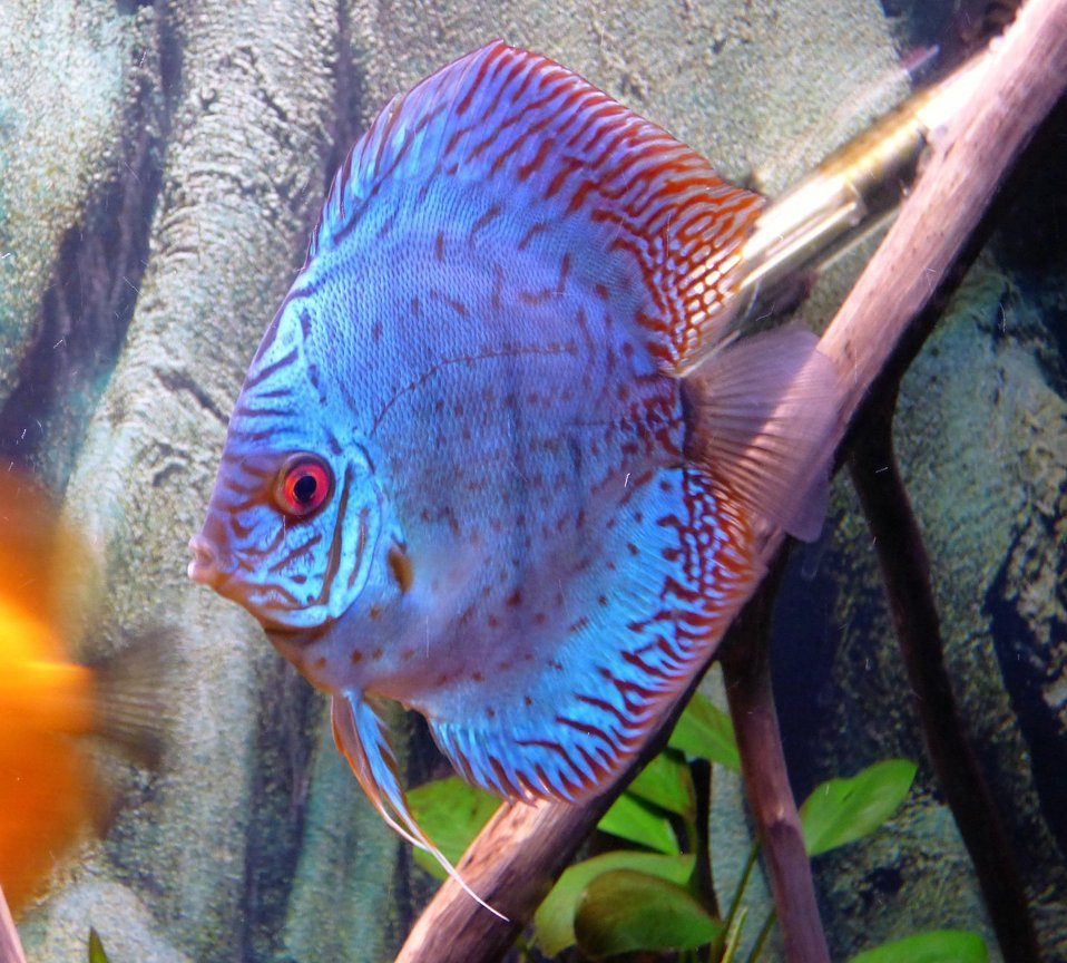 freshwater fish stocking in 55 gallons tank - discus