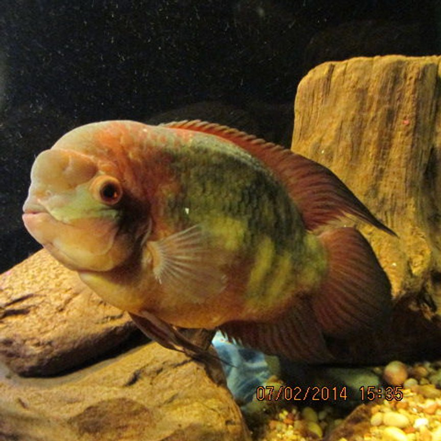 freshwater fish stocking in 300 gallons tank - My 10 inch Chocolate Cichlid