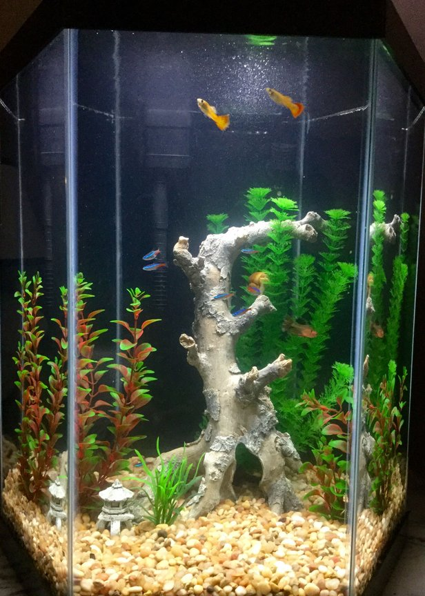 freshwater fish stocking in 20 gallons tank - Freshwater tank