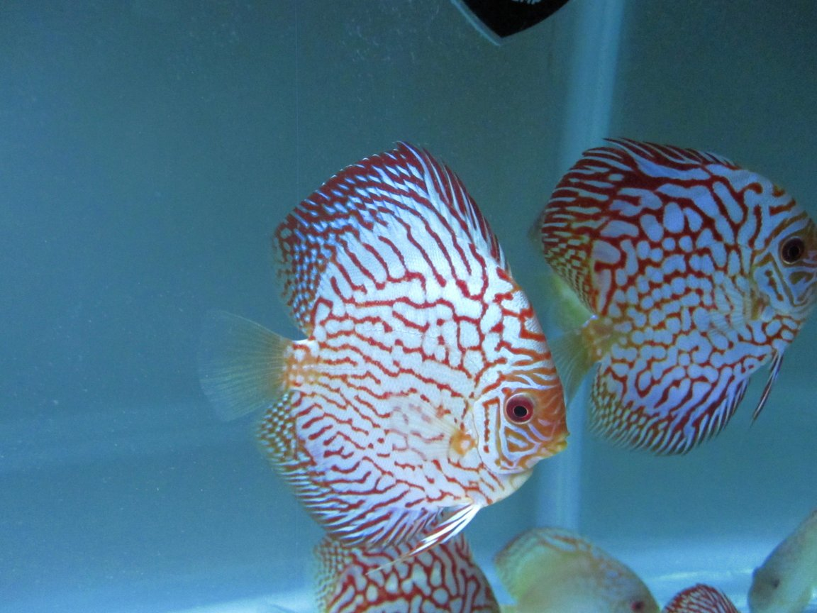 freshwater fish stocking in 50 gallons tank - here is my flora pigeon discus that I bought from Na discus