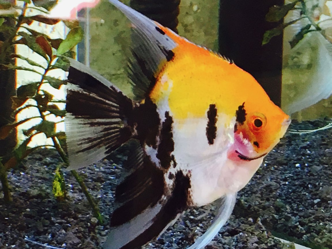 freshwater fish stocking in 34 gallons tank - My Beautiful Blushing Koi Angelfish, Samson, a nearly full grown male. (I think he is a male!)