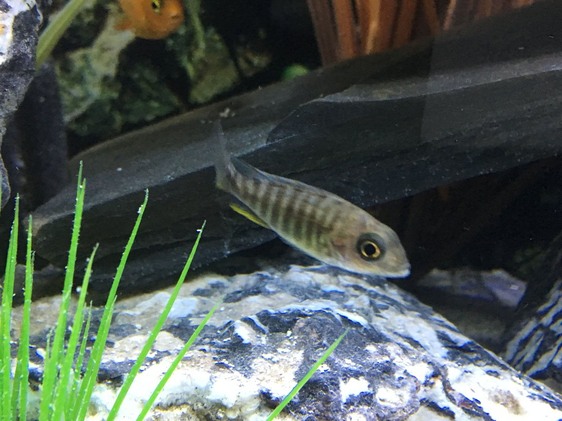 freshwater fish stocking in 45 gallons tank - Juvenile Peacock Cichlid - not sure what it is.