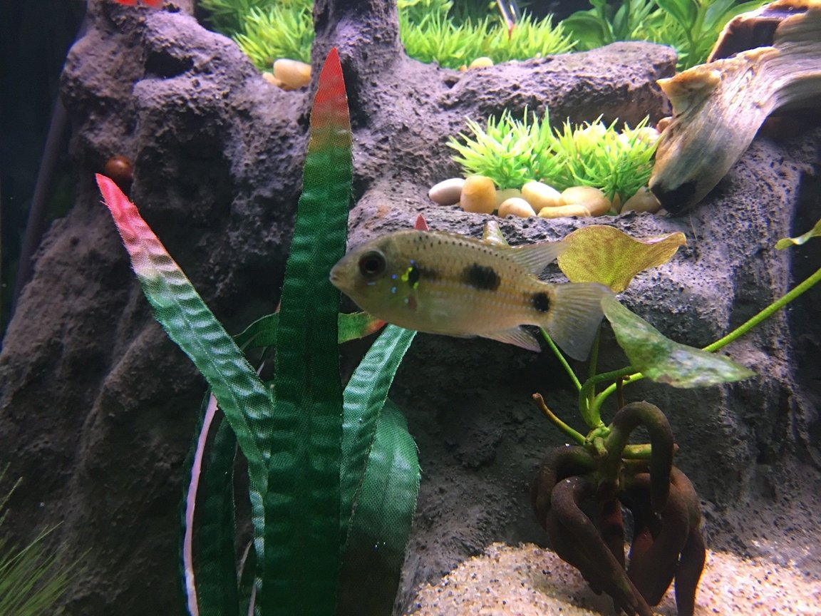 freshwater fish stocking in 75 gallons tank - African Butterfly Cichlid