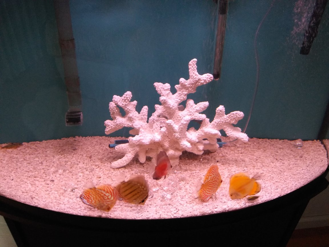 freshwater fish stocking in 40 gallons tank - Discus