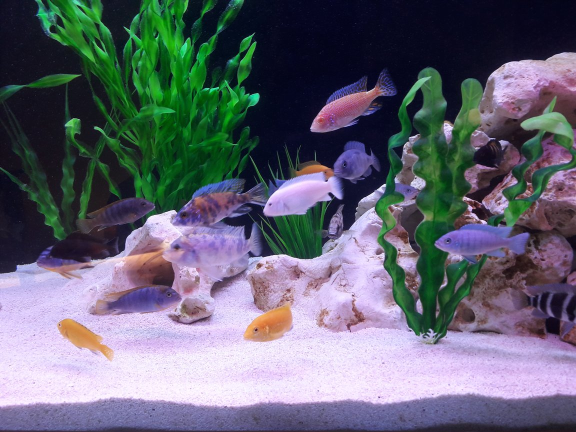 freshwater fish stocking in 95 gallons tank - African Cichlids